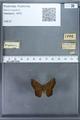 http://mczbase.mcz.harvard.edu/specimen_images/ent-lepidoptera/images/2009_12_16/IMG_027177.JPG