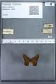 http://mczbase.mcz.harvard.edu/specimen_images/ent-lepidoptera/images/2009_12_16/IMG_027178.JPG