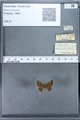 http://mczbase.mcz.harvard.edu/specimen_images/ent-lepidoptera/images/2009_12_16/IMG_027227.JPG