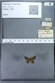 http://mczbase.mcz.harvard.edu/specimen_images/ent-lepidoptera/images/2009_12_16/IMG_027240.JPG