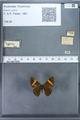http://mczbase.mcz.harvard.edu/specimen_images/ent-lepidoptera/images/2009_12_16/IMG_027347.JPG