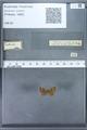 http://mczbase.mcz.harvard.edu/specimen_images/ent-lepidoptera/images/2010_01_06/IMG_027431.JPG