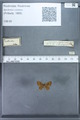 http://mczbase.mcz.harvard.edu/specimen_images/ent-lepidoptera/images/2010_01_06/IMG_027436.JPG