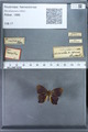 http://mczbase.mcz.harvard.edu/specimen_images/ent-lepidoptera/images/2010_01_08/IMG_027993.JPG