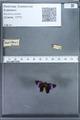 http://mczbase.mcz.harvard.edu/specimen_images/ent-lepidoptera/images/2010_01_09/IMG_028219.JPG