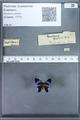 http://mczbase.mcz.harvard.edu/specimen_images/ent-lepidoptera/images/2010_01_09/IMG_028225.JPG