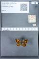 http://mczbase.mcz.harvard.edu/specimen_images/ent-lepidoptera/images/2010_01_13/IMG_029054.JPG