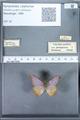 http://mczbase.mcz.harvard.edu/specimen_images/ent-lepidoptera/images/2010_01_13/IMG_029101.JPG