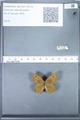 http://mczbase.mcz.harvard.edu/specimen_images/ent-lepidoptera/images/2010_02_02/IMG_031071.JPG