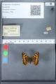 http://mczbase.mcz.harvard.edu/specimen_images/ent-lepidoptera/images/2010_02_16/IMG_032092.JPG