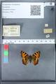 http://mczbase.mcz.harvard.edu/specimen_images/ent-lepidoptera/images/2010_02_16/IMG_032096.JPG