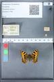 http://mczbase.mcz.harvard.edu/specimen_images/ent-lepidoptera/images/2010_02_16/IMG_032104.JPG