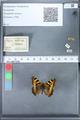 http://mczbase.mcz.harvard.edu/specimen_images/ent-lepidoptera/images/2010_02_16/IMG_032108.JPG