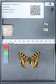 http://mczbase.mcz.harvard.edu/specimen_images/ent-lepidoptera/images/2010_02_16/IMG_032149.JPG
