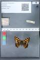 http://mczbase.mcz.harvard.edu/specimen_images/ent-lepidoptera/images/2010_02_16/IMG_032154.JPG