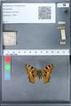 http://mczbase.mcz.harvard.edu/specimen_images/ent-lepidoptera/images/2010_02_16/IMG_032161.JPG