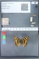 http://mczbase.mcz.harvard.edu/specimen_images/ent-lepidoptera/images/2010_02_16/IMG_032164.JPG