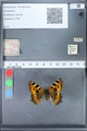 http://mczbase.mcz.harvard.edu/specimen_images/ent-lepidoptera/images/2010_02_16/IMG_032165.JPG