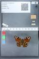 http://mczbase.mcz.harvard.edu/specimen_images/ent-lepidoptera/images/2010_02_18/IMG_032315.JPG