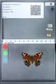 http://mczbase.mcz.harvard.edu/specimen_images/ent-lepidoptera/images/2010_02_18/IMG_032334.JPG