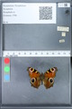 http://mczbase.mcz.harvard.edu/specimen_images/ent-lepidoptera/images/2010_02_18/IMG_032336.JPG