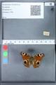 http://mczbase.mcz.harvard.edu/specimen_images/ent-lepidoptera/images/2010_02_18/IMG_032342.JPG