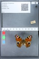 http://mczbase.mcz.harvard.edu/specimen_images/ent-lepidoptera/images/2010_02_18/IMG_032343.JPG