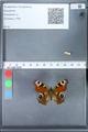 http://mczbase.mcz.harvard.edu/specimen_images/ent-lepidoptera/images/2010_02_18/IMG_032345.JPG