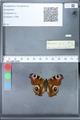 http://mczbase.mcz.harvard.edu/specimen_images/ent-lepidoptera/images/2010_02_18/IMG_032347.JPG
