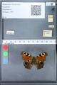 http://mczbase.mcz.harvard.edu/specimen_images/ent-lepidoptera/images/2010_02_18/IMG_032356.JPG