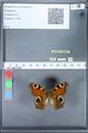 http://mczbase.mcz.harvard.edu/specimen_images/ent-lepidoptera/images/2010_02_18/IMG_032371.JPG