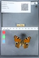 http://mczbase.mcz.harvard.edu/specimen_images/ent-lepidoptera/images/2010_02_18/IMG_032375.JPG