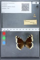 http://mczbase.mcz.harvard.edu/specimen_images/ent-lepidoptera/images/2010_02_19/IMG_032437.JPG