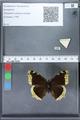 http://mczbase.mcz.harvard.edu/specimen_images/ent-lepidoptera/images/2010_02_19/IMG_032438.JPG