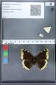 http://mczbase.mcz.harvard.edu/specimen_images/ent-lepidoptera/images/2010_02_19/IMG_032439.JPG