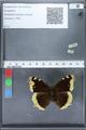 http://mczbase.mcz.harvard.edu/specimen_images/ent-lepidoptera/images/2010_02_19/IMG_032440.JPG