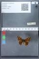 http://mczbase.mcz.harvard.edu/specimen_images/ent-lepidoptera/images/2010_02_19/IMG_032552.JPG