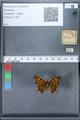 http://mczbase.mcz.harvard.edu/specimen_images/ent-lepidoptera/images/2010_02_19/IMG_032553.JPG