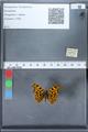 http://mczbase.mcz.harvard.edu/specimen_images/ent-lepidoptera/images/2010_02_19/IMG_032563.JPG