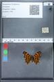 http://mczbase.mcz.harvard.edu/specimen_images/ent-lepidoptera/images/2010_02_19/IMG_032564.JPG