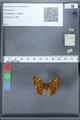 http://mczbase.mcz.harvard.edu/specimen_images/ent-lepidoptera/images/2010_02_19/IMG_032567.JPG