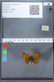 http://mczbase.mcz.harvard.edu/specimen_images/ent-lepidoptera/images/2010_02_19/IMG_032568.JPG