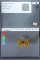 http://mczbase.mcz.harvard.edu/specimen_images/ent-lepidoptera/images/2010_02_19/IMG_032570.JPG