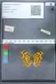 http://mczbase.mcz.harvard.edu/specimen_images/ent-lepidoptera/images/2010_02_19/IMG_032578.JPG