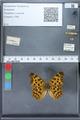 http://mczbase.mcz.harvard.edu/specimen_images/ent-lepidoptera/images/2010_02_19/IMG_032584.JPG