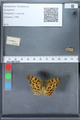 http://mczbase.mcz.harvard.edu/specimen_images/ent-lepidoptera/images/2010_02_19/IMG_032587.JPG