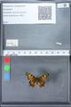 http://mczbase.mcz.harvard.edu/specimen_images/ent-lepidoptera/images/2010_02_23/IMG_033040.JPG
