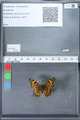 http://mczbase.mcz.harvard.edu/specimen_images/ent-lepidoptera/images/2010_02_23/IMG_033043.JPG