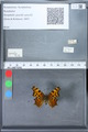 http://mczbase.mcz.harvard.edu/specimen_images/ent-lepidoptera/images/2010_02_23/IMG_033045.JPG