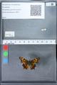 http://mczbase.mcz.harvard.edu/specimen_images/ent-lepidoptera/images/2010_02_23/IMG_033048.JPG